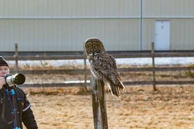 3-13-2017 Great Gray Owl 1736