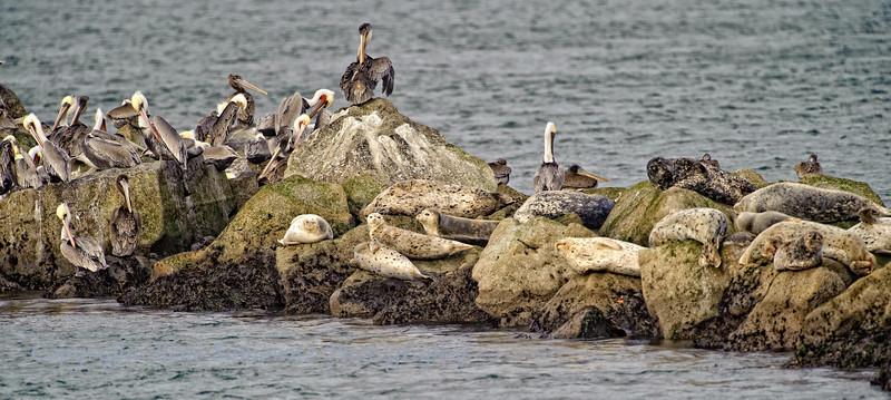 Brown Pelicans and Seals