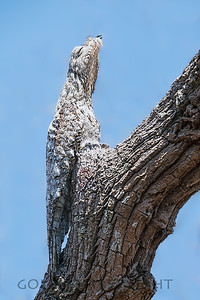 Great Potoo, Pantanal Brazil