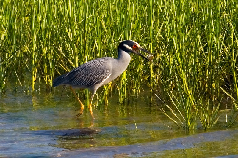 Yellow Crowned Night Heron with a blue crab for brunch.