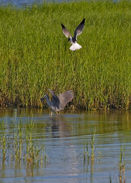 yellow crowned night heron, with a blue crab, being hassled by a sea gull.