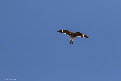 202A0313_Nighthawk