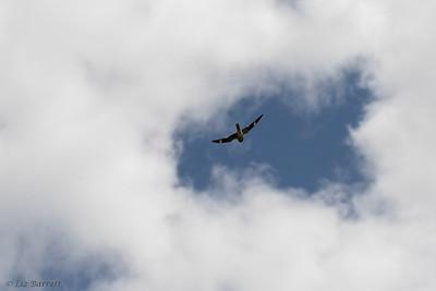 202A0287_Nighthawk
