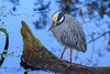 Yellow Crowned Night Heron (b1416)