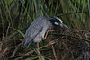 Yellow Crowned Night Heron (b1414)