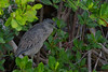 Yellow Crowned Night Heron (b1415)