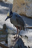 Yellow Crowned Night Heron (b1412)