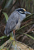 Yellow Crowned Night Heron (b1413)