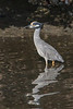 Yellow Crowned Night Heron (b1417)