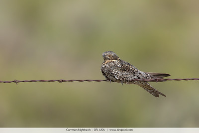 Common Nighthawk - OR, USA