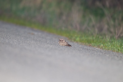 Common Poorwill - Gazos Creek Rd., Pescadero, CA, USA