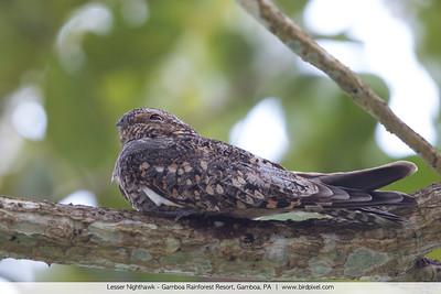 Lesser Nighthawk - Gamboa Rainforest Resort, Gamboa, PA