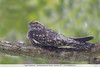 Lesser Nighthawk - Gamboa Rainforest Resort, Gamboa, PA