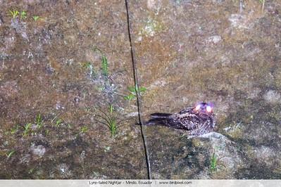 Lyre-tailed Nightjar - Mindo, Ecuador
