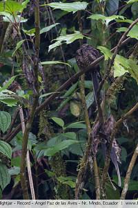 Lyre-tailed NIghtjar - Record - Angel Paz de las Aves - Nr. Mindo, Ecuador