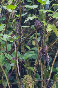 Lyre-tailed Nightjar - Record - Angel Paz de las Aves, Nr. Mindo, Ecuador