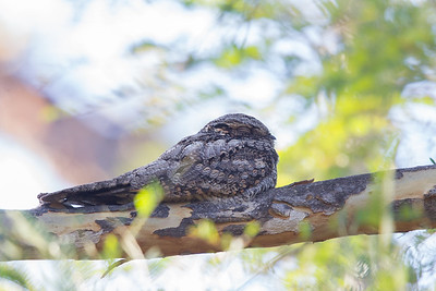 Savannah Nightjar - Pench National Park, Madhya Pradesh, India