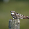 Common Nighthawk, Grasslands National Park, Saskatchewan