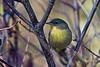 <center>Nashville Warbler  <br><br>Ninigret Wildlife Refuge - 10 October, 2011<br>Charlestown, Rhode Island</center>