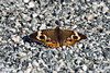 <center>Common Buckeye Butterfly  <br><br>Ninigret Wildlife Refuge - 10 October, 2011<br>Charlestown, Rhode Island</center>