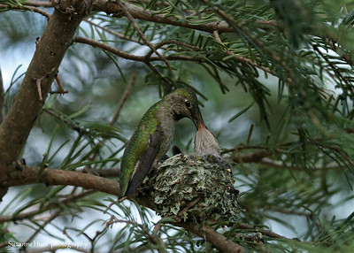 Anna's Hummingbird feeding young.