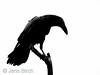 Raven (<i>Corvus corax</i>), Korp