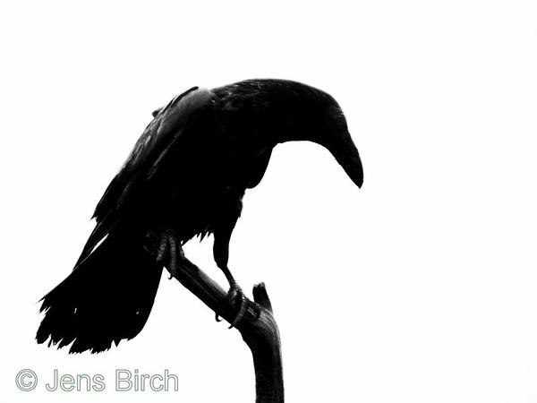 Nordic crowbirds