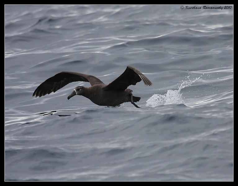 Black-footed Albatross, Pelagic Trip Pacific Ocean, Islas Coronados, Mexico, March 2010