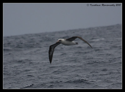 Laysan Albatross, Record Shot, Pelagic Trip Pacific Ocean, Islas Coronados, Mexico, March 2010