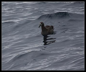 Black-footed Albatross, Pelagic Trip Pacific Ocean, Islas Coronados, Mexico, March 2010