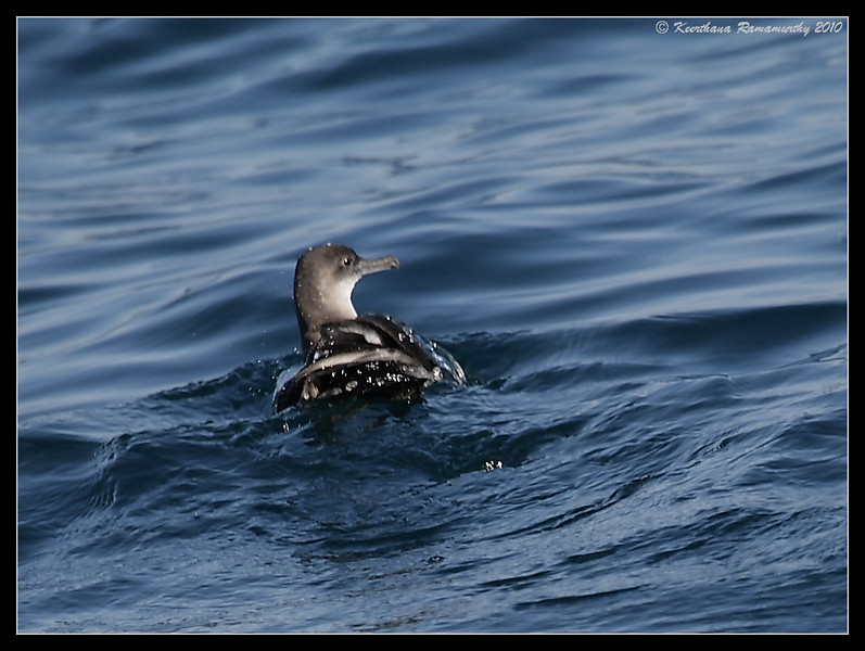 Black-vented Shearwater, Oceanside Pelagic Trip, San Diego County, California, January 2010