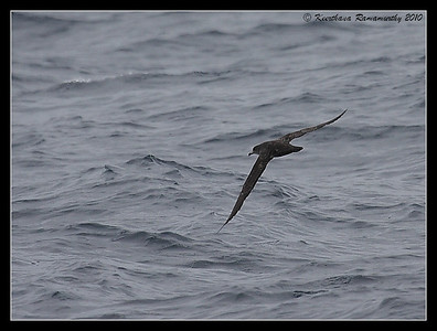 Pink-footed Shearwater, Pelagic Trip Pacific Ocean, Islas Coronados, Mexico, March 2010