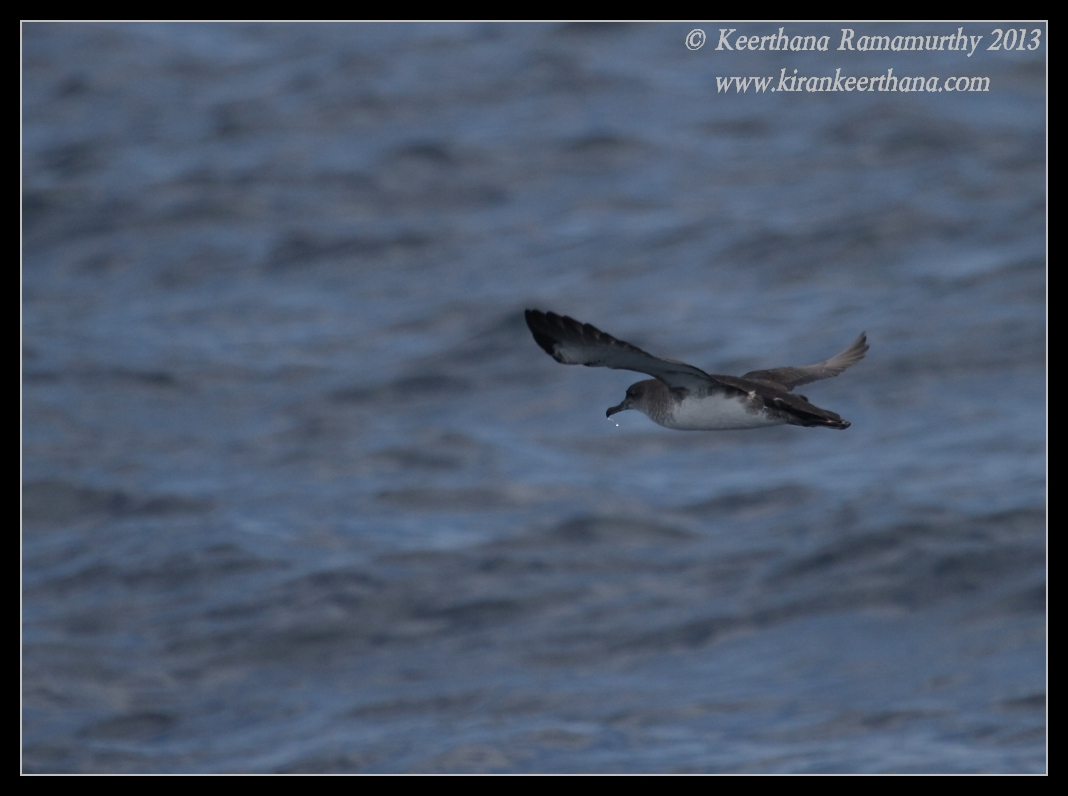 Black-vented Shearwater, Whale Watching trip, San Diego County, California, September 2013