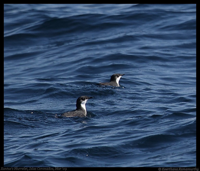 Xantus's Murrelet, Pelagic Trip Pacific Ocean, San Diego County, California, March 2009
