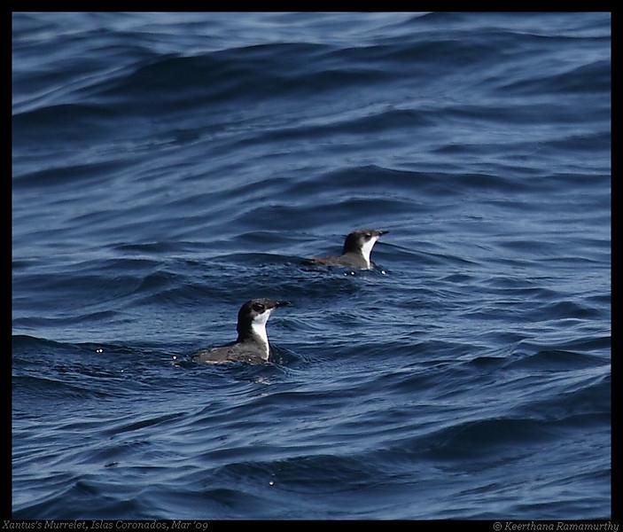 Xantus's Murrelet, Pelagic Trip Pacific Ocean, San Diego County, California, March 2009