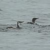Common Murre (Uria aalge) Monterey Bay, CA