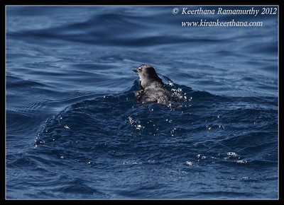 Cassin's Auklet, Whale Watching trip, San Diego County, California, November 2012