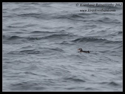 Rhinoceros Auklet, Dana Point Whale watching trip, Orange County, California, January 2012