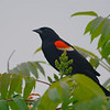 Red-winged Blackbird (Agelaius phoeniceus) Middleville MI