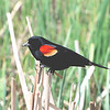 Red-winged Blackbird (Agelaius phoeniceus) McKenzie Slough, ND