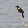 Red-winged Blackbird (Agelaius phoeniceus) McKenzie Slough ND