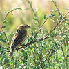 Bobolink (Dolichonyx oryzivorus) Long Lake NWR, ND