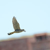 Merlin (Falco columbarius)  Garden Key, Dry Tortugas NP, FL