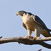 Peregrine (Falco peregrinus) Scottsdale AZ