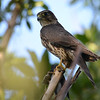 Merlin (Falco columbarius)  Key West FL