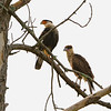 Crested Caracara (Caracara cheriway) adult and juvenile, Three Lakes Wildlife Management Area, Osceola County, FL