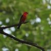 Scarlet Tanager (Piranga olivacea) Turtle River SP, ND