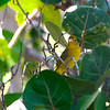 Summer Tanager (Piranga rubra) Garden Key, Dry Tortugas NP, FL