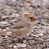 Northern Cardinal (Cardinalis cardinalis) San Antonio TX