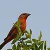 Hepatic Tanager (Piranga flava) Davis Mountains SP, TX